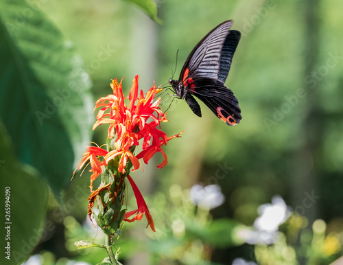 A Black Swallowtail Butterfly Alights