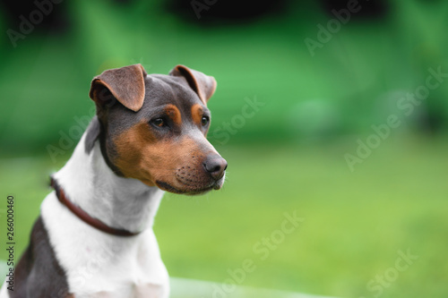 Obraz Brazilian terrier portrait on a green grass background - fototapety do salonu