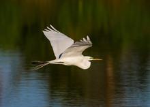 White Egret Flies Over Pond