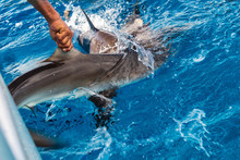 Shark Fishing Illegal Boating Activity. Sealife Fish Cutting For Fin Trade.