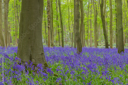Garden Poster Pistachio Beautiful bluebell wood in England - forest with flowers