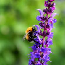Bumblebee Flower Sage Garden