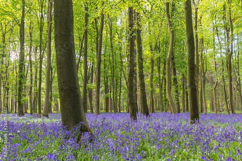 Garden Poster Pistachio A beautiful Bluebell wood - springtime with flowers in a forest.