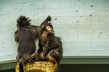 Two Javan Lutung Monkeys Together, Tropical Primates From The Java Island Of Indonesia, Vulnerable Animal Specie