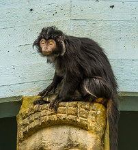 Closeup Of A Javan Lutung Monkey, Tropical Primate From The Java Island Of Indonesia, Vulnerable Animal Specie