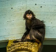 Closeup Portrait Of A Javan Langur Monkey, Tropical Primate Form The Java Island Of Indonesia, Vulnerable Animal Specie