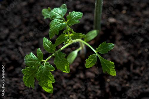 Poster Vegetal Tomato seedlings