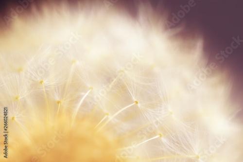 Obraz na plátně  Macro photo of dandelion's ripe fruits