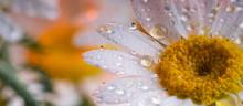 Daisy And Rain Drops
