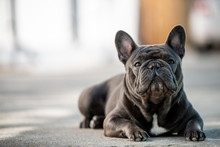 French Bulldog Laying On The P...