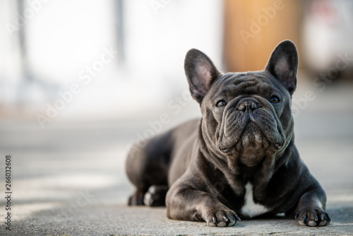 Fototapeta French bulldog laying on the pavement outdoor