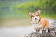 Sable Welsh Corgi Pembroke Dog Beautiful Portrait
