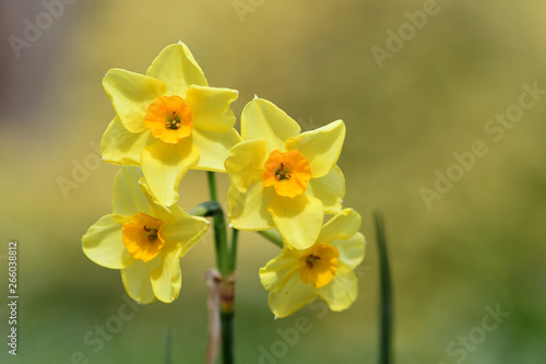 Papiers peints Narcisse Close up of daffodils (narcissus) in bloom