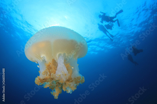 Jellyfish and scuba divers