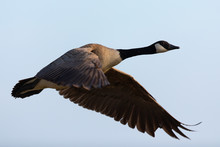 Canada Goose Flying  In The Be...