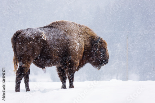 Bison or Aurochs in winter season in there habitat Tapéta, Fotótapéta