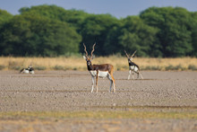 A Male Blackbuck Walking In A Green Background And Morning Light In Grassland Of Tal Chappar Blackbuck Sanctuary. This Sanctuary Also Famous For Raptors.