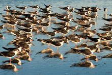 Flock Of Sea Birds Clustered O...