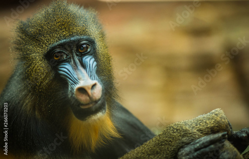 Photo Large multicolor mandrill with expressive face