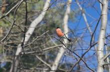 Bullfinch On Branch. Male.