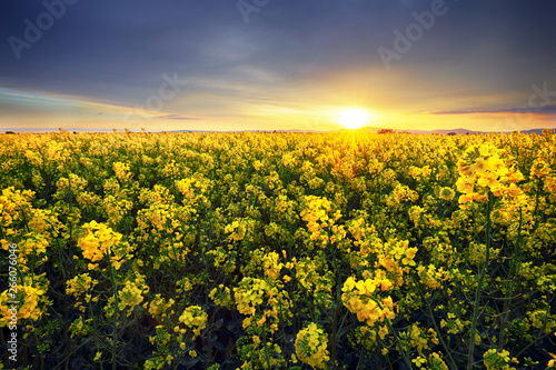Pinturas sobre lienzo  Canola yellow field, landscape on a background of clouds at sunset, Rapeseed