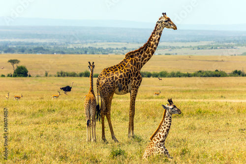 Printed kitchen splashbacks Giraffe Family of giraffes