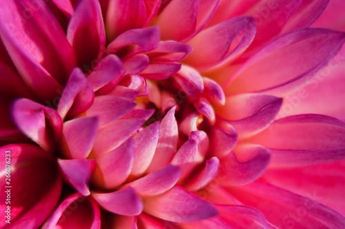 Türaufkleber Makrofotografie Pink Dahlia flower with close up macro view