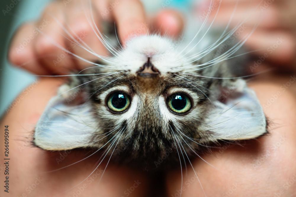 Fototapety, obrazy: Cute little kitten lying upside-down in its owner's lap enjoying. Close up