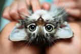 Fototapeta Zwierzęta - Cute little kitten lying upside-down in its owner's lap enjoying. Close up
