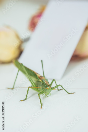 Wallpaper Mural Locust or grasshopper on a white table close-up on a blurred background