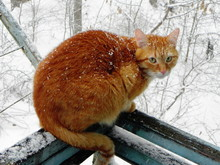 The Cat Is Walking Outdoors In The Winter. Beautiful Winter Nature And Red Cat. Details And Close-up.