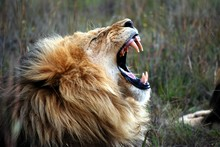 Lion Roaring, On A Game Park In South Africa