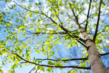 Bright Fresh Birch Foliage In ...