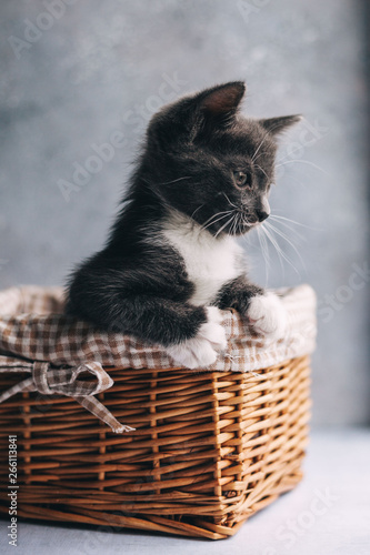 obraz lub plakat Little grey cat with white feet in basket on grey background