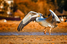 The Pink-backed Pelican Or Pel...