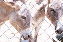 Sleepy And Hungry Donkeys In Cage At Zoo