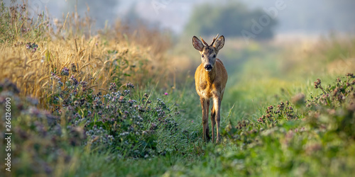 Foto op Plexiglas Ree Roe deer, capreolus capreolus, buck walking along grain field in the sunny summer morning. Curious wild young roebuck approaching in nature with space for copy.
