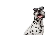 Dalmatian Dog Portrait With To...
