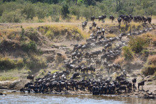 Mara River Crossing Of Wildebeest In Kenya