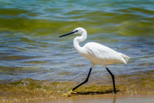 Little Egret On The Shores Of Lake Victoria