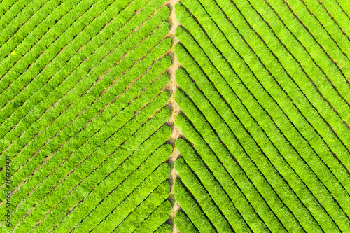 Poster Lime groen tea plantation background