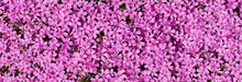 Carpet Of Flowers. Thousands O...