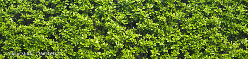 A thick spring hedge, a spring decorative motif. Panorama of the green wall consisting of thousands of small leaves. - 266139437