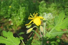 Celandine Flowering