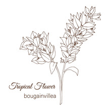 Vector Illustration Of Tropical Flower Isolated On White Background. Hand Drawn Bougainvillea. Floral Outline. Coloring Page. Sketch Style. Tropic Design Elements.