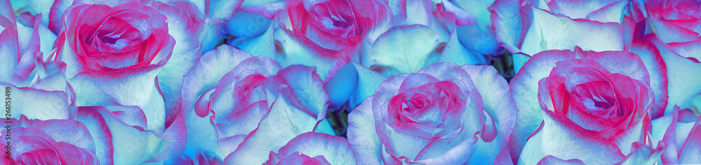 Fototapety, obrazy: Background of flowers of blue roses. Concept of business or congratulations. Selective focus, close-up. Banner.