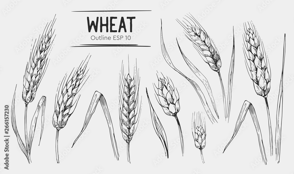 Fototapeta Wheat ears set. Hand drawn illustration.Ounline with transparent background.