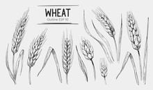 Wheat Ears Set. Hand Drawn Ill...