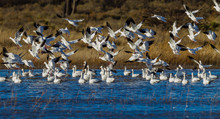 Numerous Snow Geese Migrate To Bosque Del Apache In New Mexico