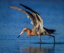 Reddish Egret In Breeding Plumage Fishing In Pond In Florida